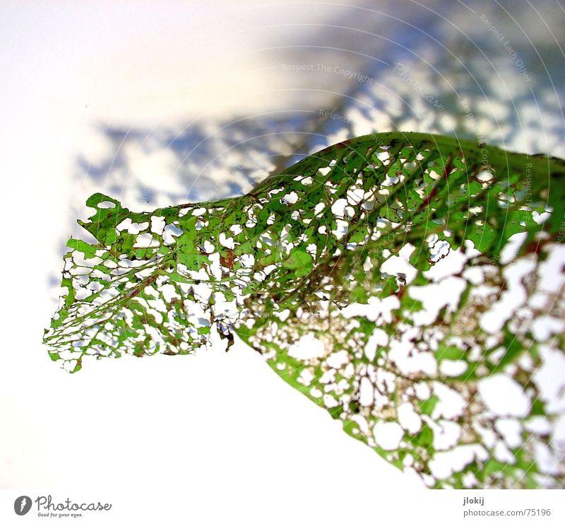 Durchblick rechts Blatt zerfressen grün welk Pflanze Wellen Herbst Licht Freisteller gedreht Natur zart weich durchsichtig luftig Schatten alt Bewegung autumn