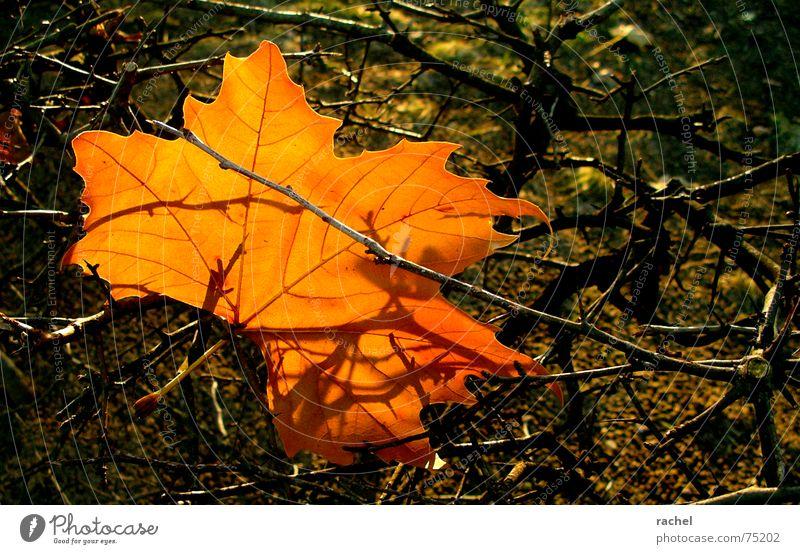 erste Anzeichen... Natur schön Baum rot Sommer Blatt Farbe Herbst Traurigkeit orange braun Wind Fröhlichkeit Sträucher Trauer Wandel & Veränderung