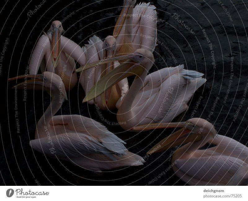 Pelikane füttern Vogel Tier Schnabel rosa sprechen Rede Fischer Wasser