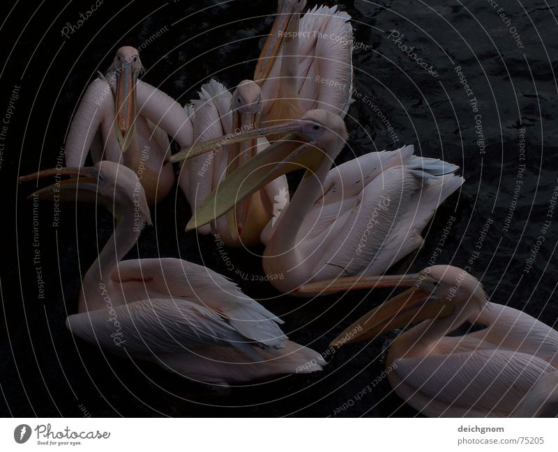 Pelikane Wasser Tier sprechen Vogel rosa Rede Schnabel Fischer füttern Pelikan