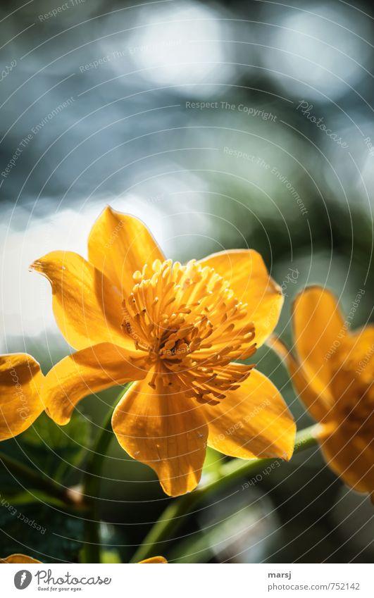 Goldgelb Natur Pflanze Frühling Blume Blüte Wildpflanze Sumpf-Dotterblumen Blühend Duft glänzend leuchten träumen Wachstum außergewöhnlich authentisch einfach
