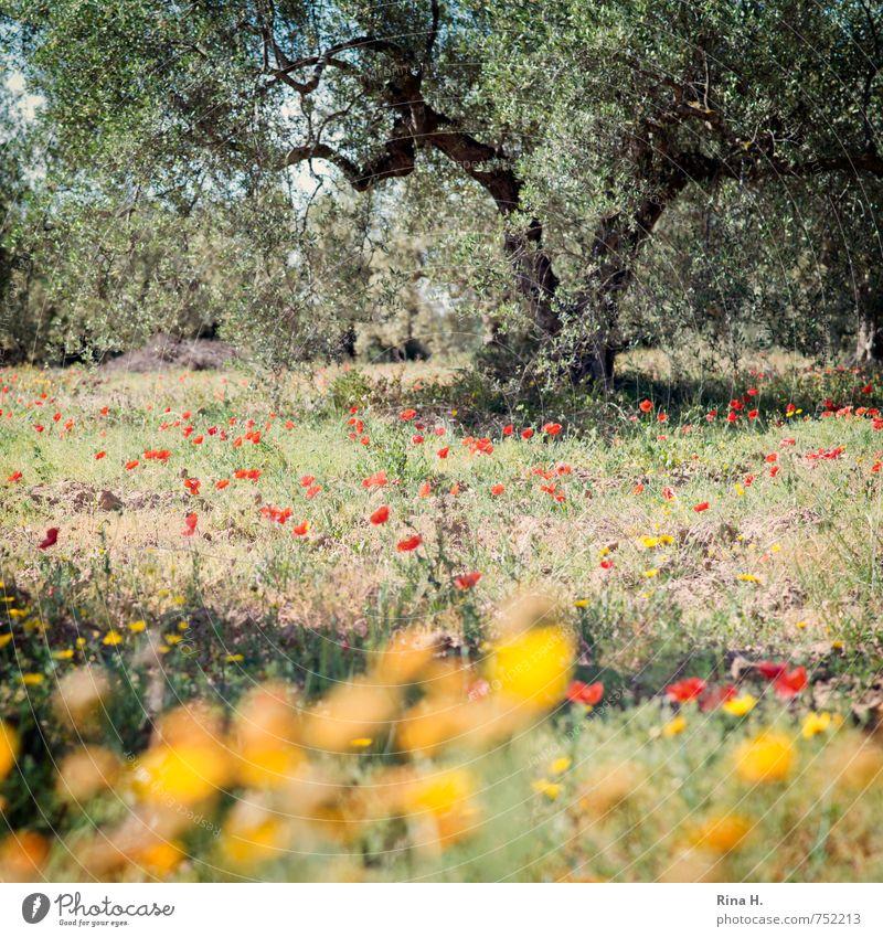 Blümchen und Oliven Landwirtschaft Forstwirtschaft Natur Landschaft Pflanze Frühling Schönes Wetter Baum Blume Gras Wiese Feld Blühend trocken Lebensfreude