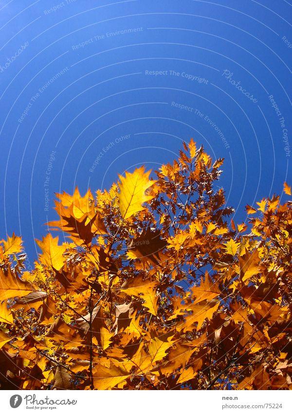 Ein Tag im Herbst ² Himmel blau Baum Farbe Blatt Wald Herbst orange gold Wolkenloser Himmel Baumkrone Ahorn