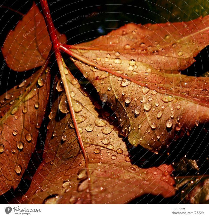autumnrain I Baum rot Blatt Herbst Regen Wassertropfen Färbung