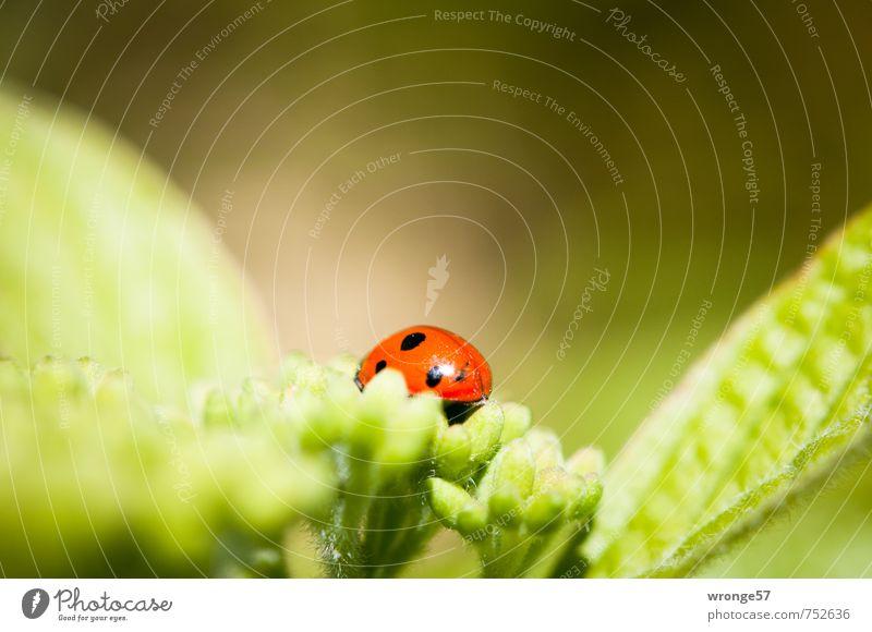 Noch ein Käfer Tier Sträucher Blatt Blüte Garten Wildtier Marienkäfer 1 klein nah schön grün rot schwarz Insekt Blattgrün Blütenknospen Makroaufnahme winzig