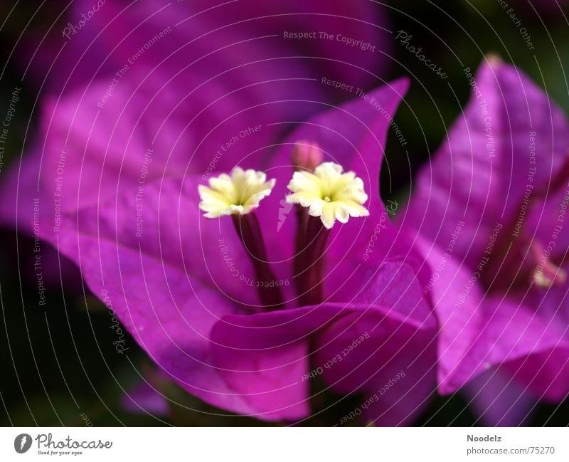 blüüz Natur Blume Pflanze Blüte violett Duft Blütenknospen