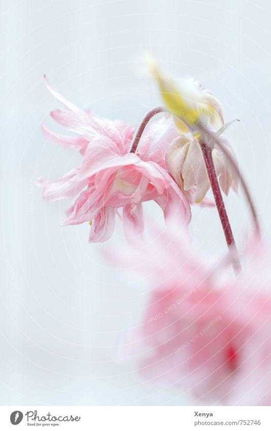 Zarter Blick Umwelt Natur Pflanze Blume Blüte Garten Blühend ästhetisch rosa Romantik ruhig zart verträumt hell weich Gedeckte Farben Detailaufnahme