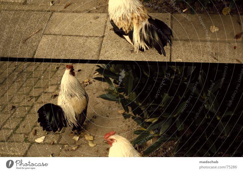 GEGAGGGAGGER Begleiter Spaßvogel Nest Gefolgsleute Obdachlose Partner Nährboden Hahn Harem Fan Vogel Tier außergewöhnlich Lebensraum mehrfarbig Haushuhn live