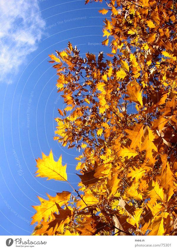 Ein Tag im Herbst ³ Himmel Wolkenloser Himmel Sonnenlicht Schönes Wetter Baum Blatt Wald blau gold orange Farbe Natur Farbfoto Außenaufnahme Sonnenstrahlen