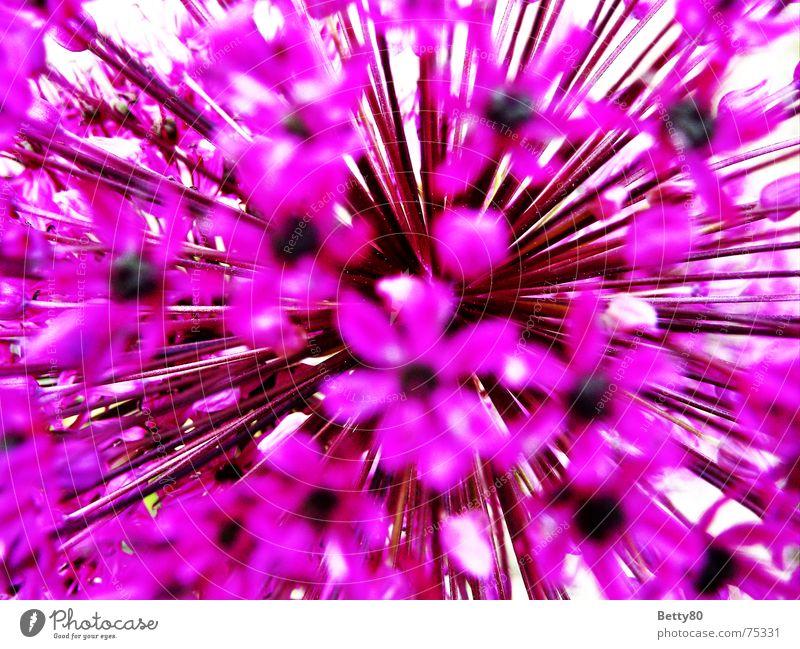 Zum Kern der Sache Natur Blume Sommer Blüte Frühling rosa violett knallig