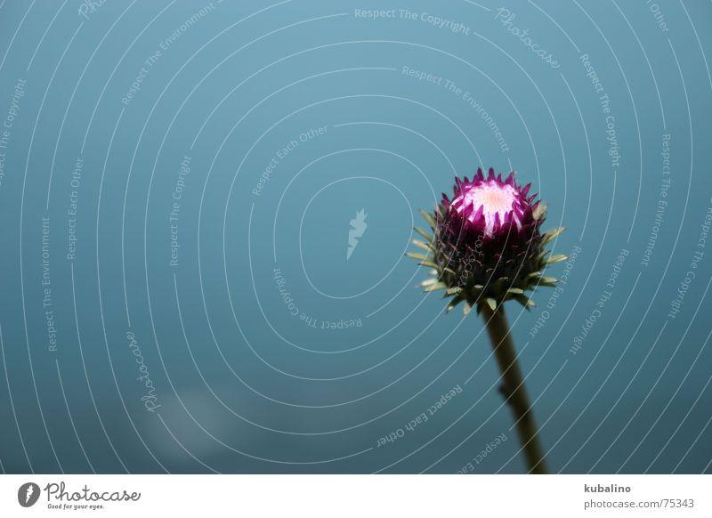 SEIN schön Himmel Blume blau ruhig Gelassenheit himmelblau Distel