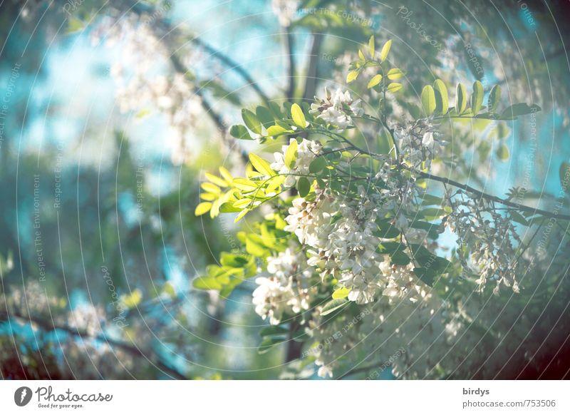 duftende Robinie Natur Pflanze Himmel Frühling Sommer Baum Ast Blatt Blüte Akazie Blühend Duft ästhetisch natürlich positiv blau grün türkis weiß