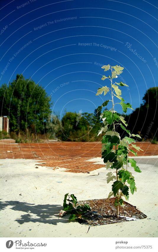 Kleiner Goliath II Baum Blatt baufällig grün Mut Pflanze Ruine weiß Außenseiter Insolvenz Himmel blau Stein Erde tree little tree leaf abandoned building site
