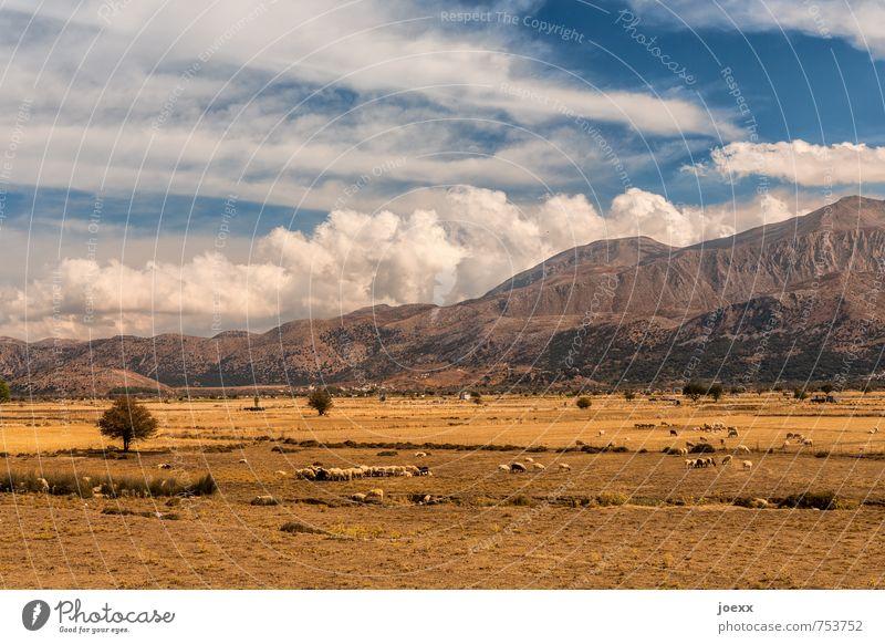 Lasithi-Hochebene Landschaft Himmel Wolken Sommer Schönes Wetter Baum Feld Berge u. Gebirge Nutztier Schafherde Herde groß schön blau braun weiß Farbfoto