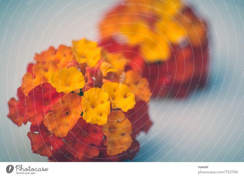 Wandelröschen Natur schön Pflanze Sommer rot Blume gelb Umwelt Liebe Herbst Frühling Blüte außergewöhnlich Garten liegen orange