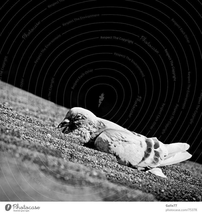 Sonnenbad II ruhig Erholung Pause Dach Taube Dachziegel Aalen