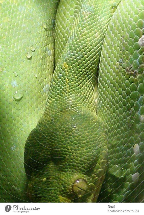 Mimikry grün Tier Zoo Schlange Reptil Sünde