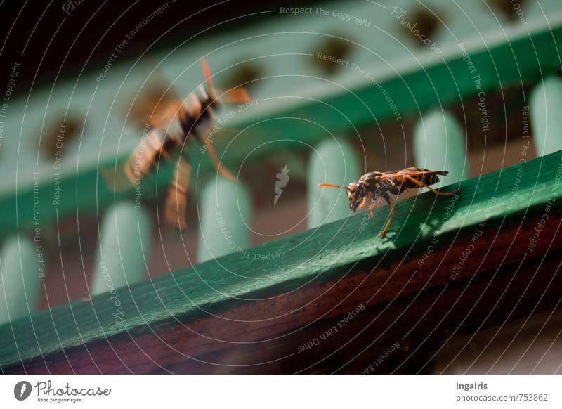 Abgeschossen! Tier Flügel Wespen Insekt 2 Holz beobachten fallen fliegen hocken Jagd kämpfen Konflikt & Streit Aggression bedrohlich klein listig wild gelb grün