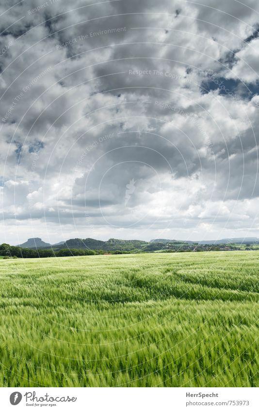 Barley field Landschaft Himmel Wolken Horizont Frühling Pflanze Nutzpflanze Gerste Gerstenfeld Gerstenähre frisch saftig grau grün Sachsen Traktorspur