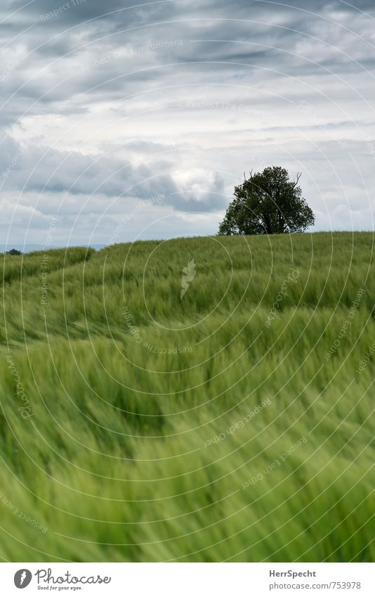 Barley field II Umwelt Landschaft Himmel Wolken Frühling schlechtes Wetter Pflanze Baum Nutzpflanze Gerste Gerstenfeld Getreidefeld Sachsen Sächsische Schweiz