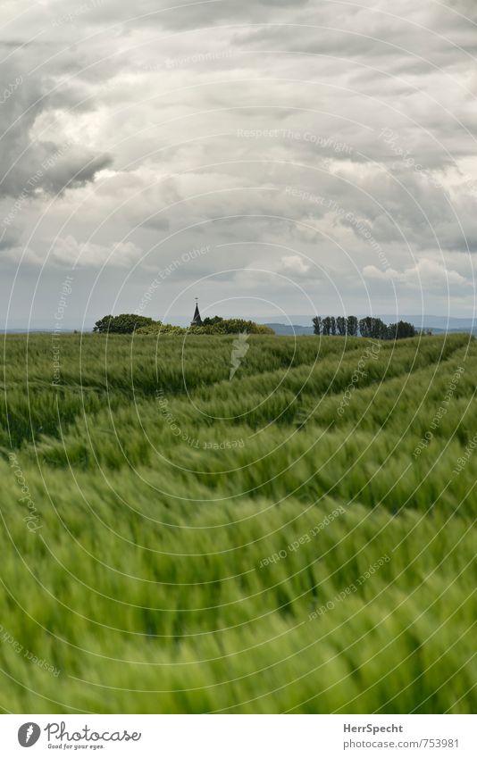 Barley field III Himmel Wolken Gewitterwolken Frühling Wind Pflanze Baum Nutzpflanze Gerste Gerstenfeld Getreidefeld Sachsen Sächsische Schweiz Kirche
