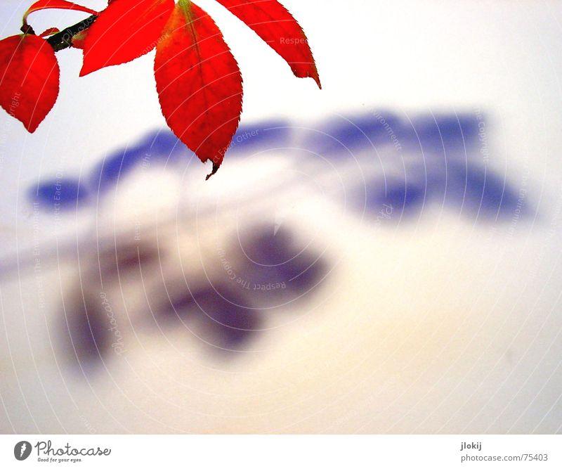 Beschattung Herbst Färbung rot Blatt Licht Pflanze Baum beobachten Zweig Ast Schatten Beleuchtung autumn leaf red branch