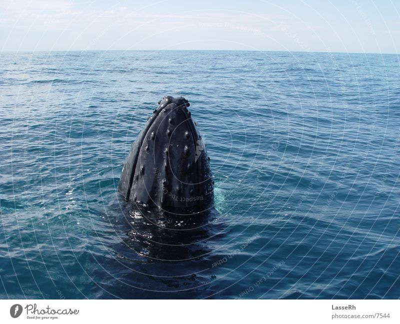 Neugieriger Wal Meer nah Australien Pazifik Wal