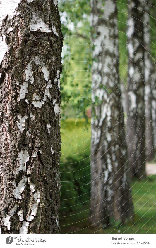 4-teiliger Kleiderschrank Baum Gras Sträucher Park hell grün weiß Baumrinde Birke Kontrast Gruppe von Objekten Reihe Holz Strukturen & Formen gerade vertikal