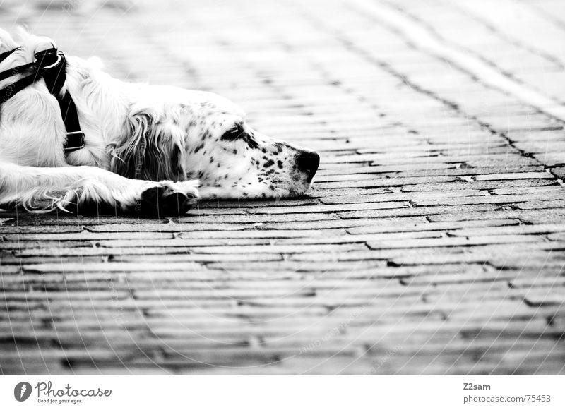 flatly dog sw Tier Erholung Hund Stein Seil Bodenbelag liegen Müdigkeit erstaunt flach