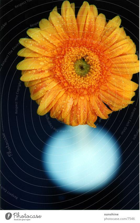 yel flow Blume Pflanze gelb nah Gerbera