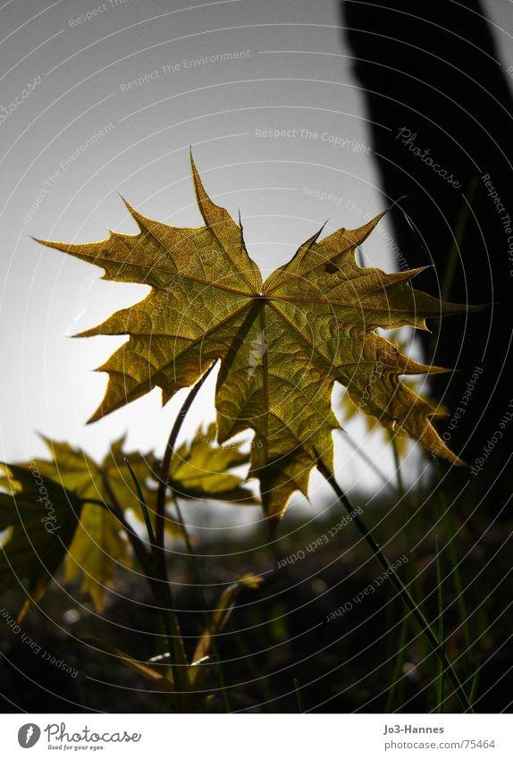 Erwachsen werden Blatt Baum Herbst klein Gefäße streben Wachstum groß Kastanienbaum neu Makroaufnahme Strukturen & Formen Leben Sonne Schatten alt Natur