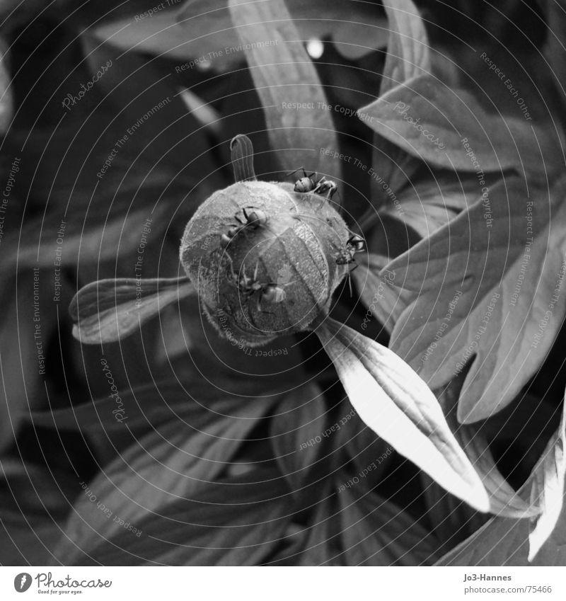 Hausfriedensbruch Pfingstrose Blume Pflanze Blüte Blatt Ameise Insekt Angriff eindringen Feindschaft Krieg wandern Garten Park Blütenknospen Spitze invasion
