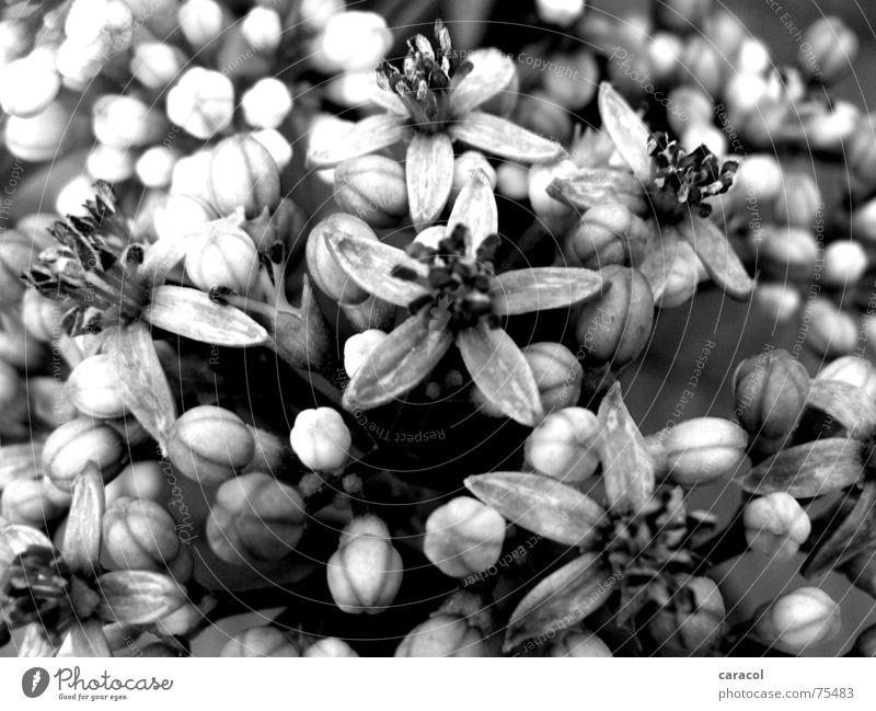 grauer Frühling Blume Blüte schwarz weiß springen Garten black white grey flower