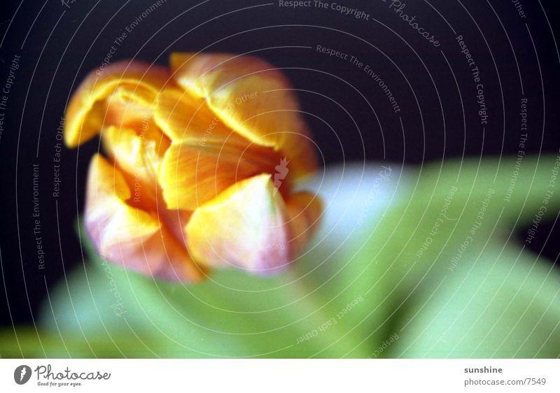 Eplut Blume gelb Unschärfe Tulpe