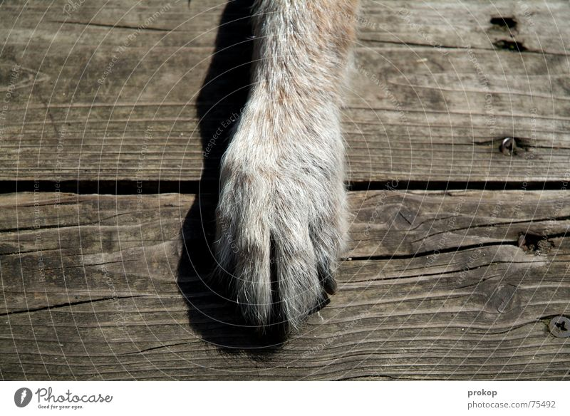 Grüße an den goldenen Schnitt Pfote Hund Holz Mischling grau Fuge Nagel braun Holzmehl alt Schatten dog paw