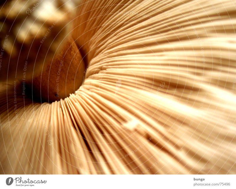 Bungi-Fungo Fruchtfleisch Sporen Fächer essbar lecker genießen Wachstum Reifezeit Fortpflanzung Froschperspektive Zwerg Makroaufnahme Vegetarische Ernährung