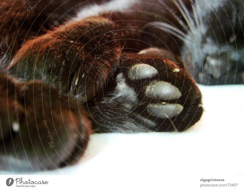 Klatsch mal! schwarz Katze schlafen Müdigkeit Pfote Krallen Hauskatze Schnurrhaar Trägheit
