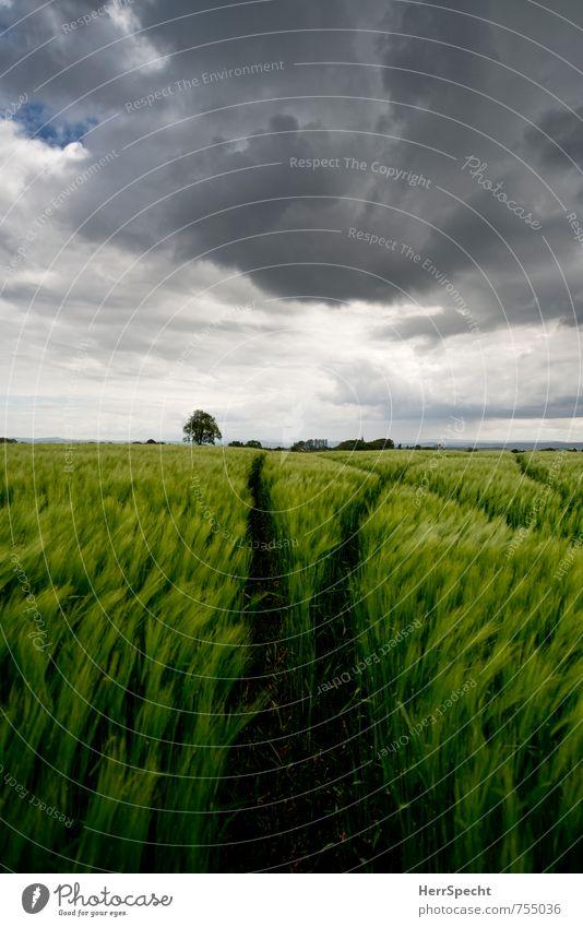 Barley field IV Umwelt Landschaft Himmel Wolken Gewitterwolken Frühling schlechtes Wetter Unwetter Wind Sturm Pflanze Baum Nutzpflanze Gerste Gerstenfeld