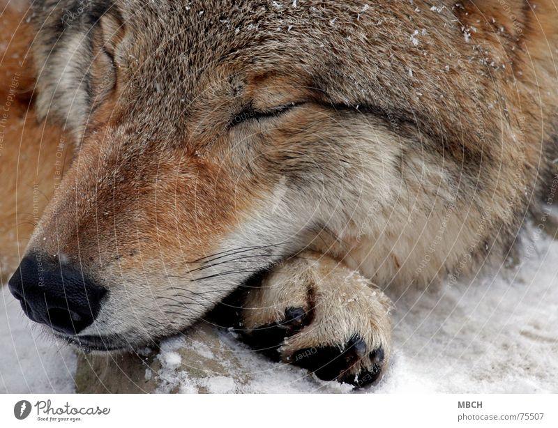 Schlafen Winter Erholung kalt Schnee schlafen gefährlich Wildtier Pfote Schnauze Wolf Tier Halbschlaf Mongolei