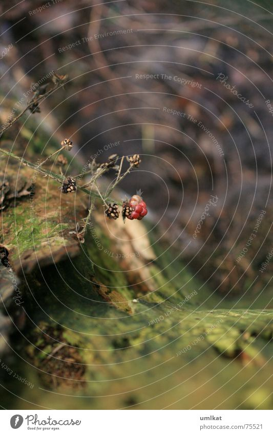 ungepflückt grün Pflanze Einsamkeit ruhig braun Baumstamm Rest Herbstbeginn Waldboden Beeren Brombeeren