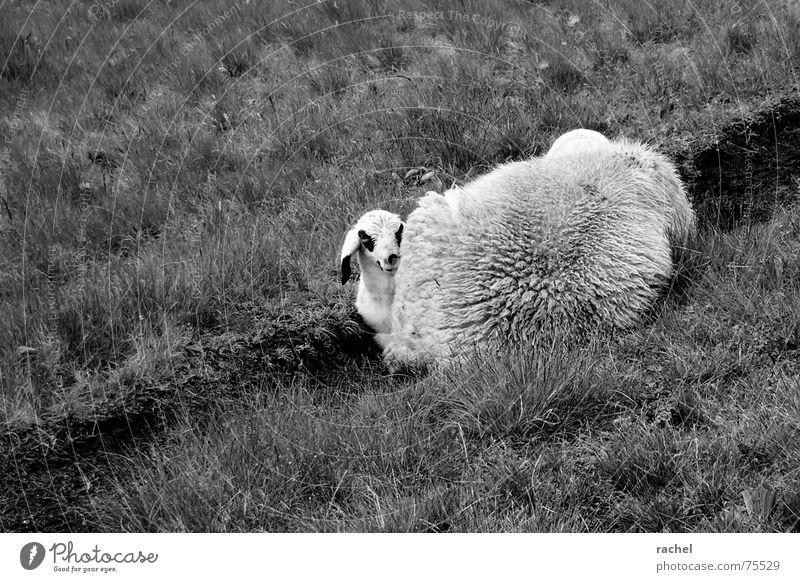 gar nicht schüchtern weiß Tier schwarz ruhig Wiese Wärme Gras Mund Sicherheit Pause niedlich Ostern weich Neugier Fell Schutz