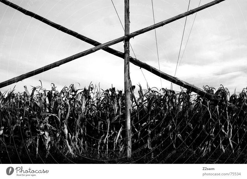 Herbstfeld sw Feld Holz Pfosten Mais Baugerüst gestänge Himmel Natur Schwarzweißfoto Landschaft Rücken