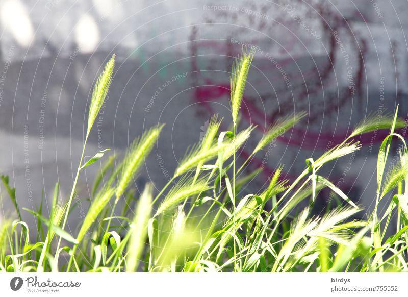 urbanes Kornfeld Stadt grün Sommer Wand Graffiti Frühling Mauer grau außergewöhnlich Wachstum leuchten Schönes Wetter Kreativität Idee Lebensfreude einzigartig