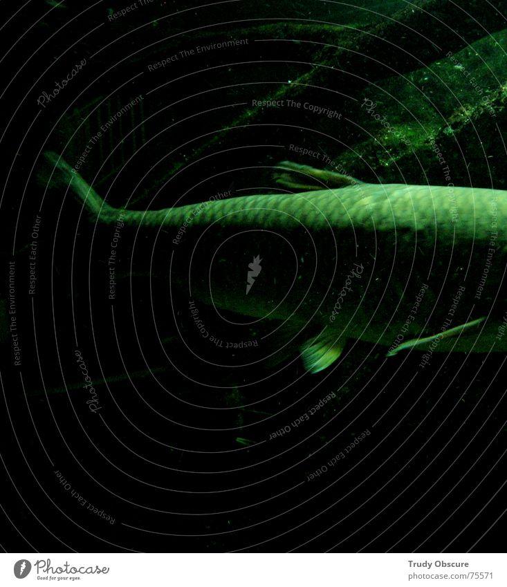 big fish Tier Macht groß voluminös Aquarium Zoo Tiergarten Wassertier gefangen Haftstrafe eingeschlossen Fisch Schwimmhilfe gigantisch geschöpf