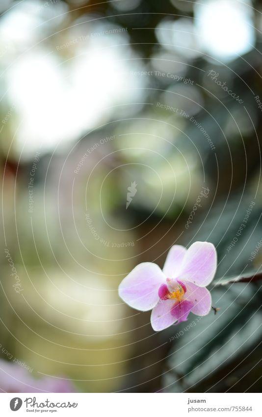 florale Neugierde Garten Dekoration & Verzierung Umwelt Natur Pflanze Sonne Sommer Schönes Wetter Orchidee Topfpflanze exotisch Duft elegant rosa Idylle frisch