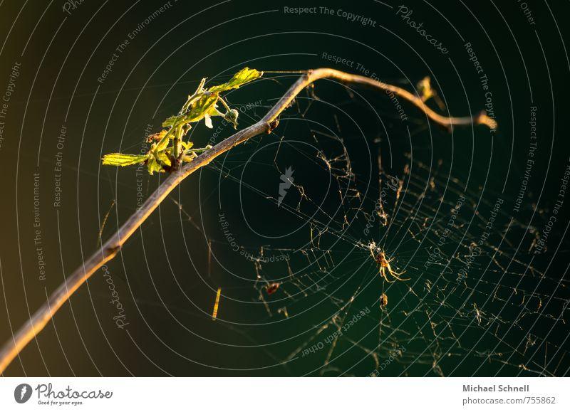 Unordentliches Zuhause Natur Tier Schönes Wetter Pflanze Wildpflanze Wald Spinne 1 dunkel kaputt bequem Zerstörung alt spinnen Abendsonne unordentlich