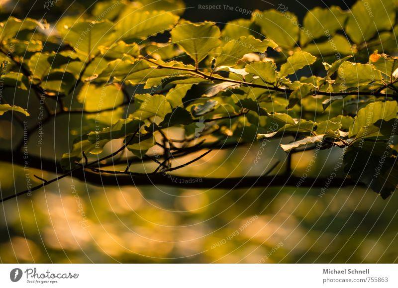 Buchenblätter Natur grün Pflanze Baum Blatt Wald gelb Frühling Schönes Wetter Schutz friedlich Buchenblatt