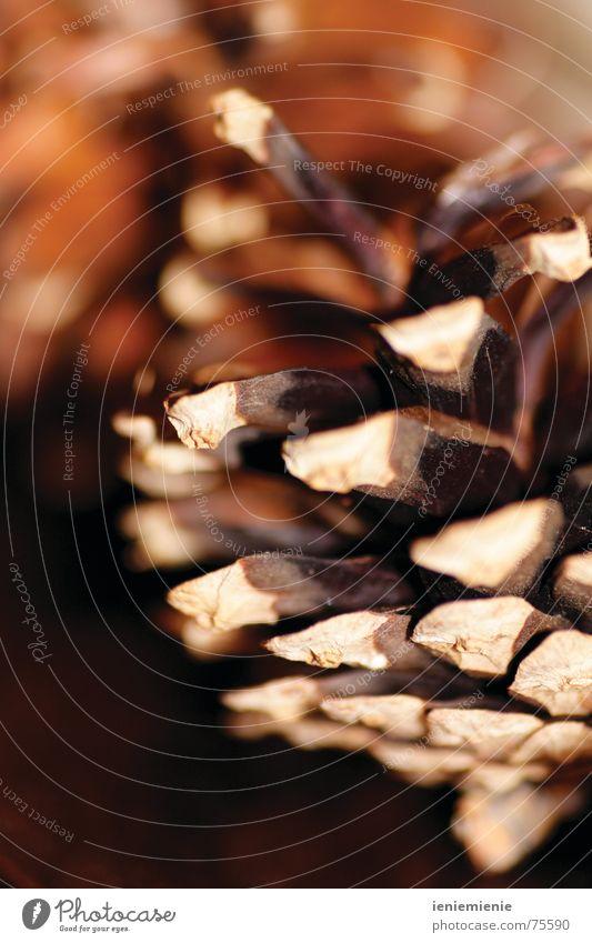 Wenn der Herbst kommt... Winter Zapfen braun Wärme Makroaufnahme offen Kiefernzapfen Spitze