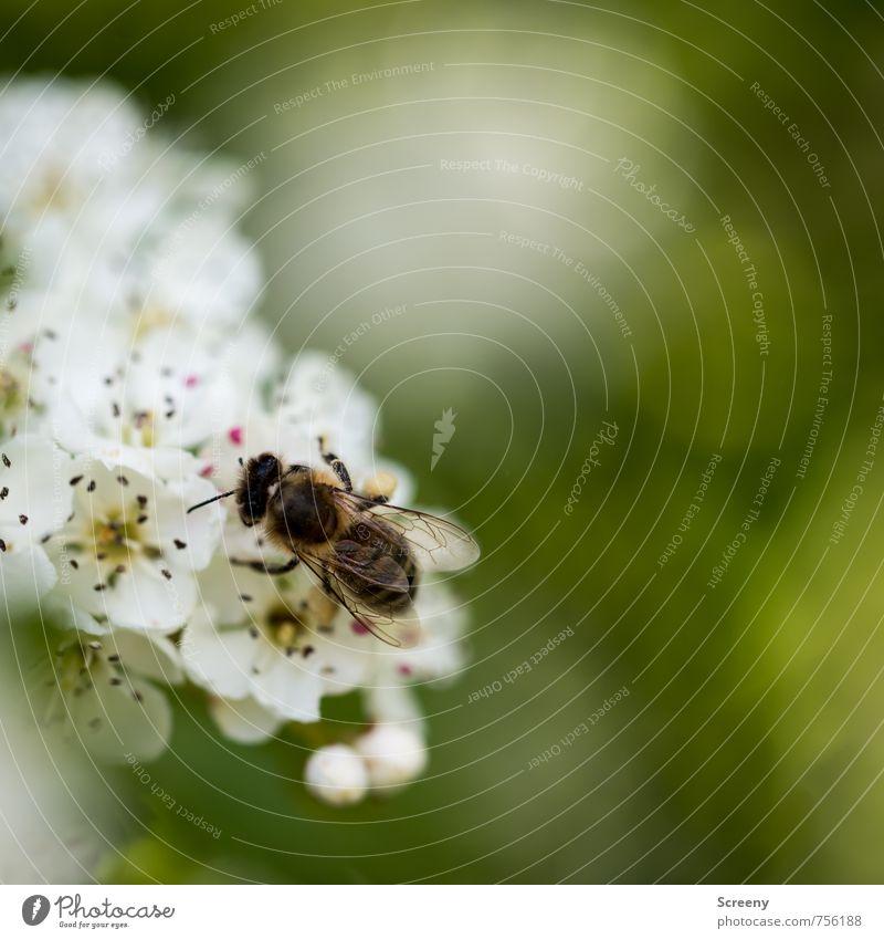 Die Sammlerin Natur grün weiß Pflanze Blume Tier gelb Wiese Frühling Blüte klein braun fliegen Feld Wachstum Blühend