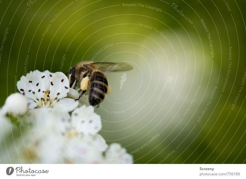 Backpack Natur Pflanze Tier Blume Blüte Wiese Feld Biene 1 Blühend Duft fliegen Wachstum klein braun gelb grün weiß Frühlingsgefühle Pollen Sammlung bestäuben